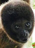 Scimmietta lanosa